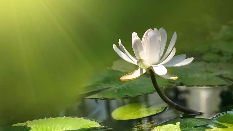 White-Lotus-Flower-Exposed-to-Sunlight-Wallpaper