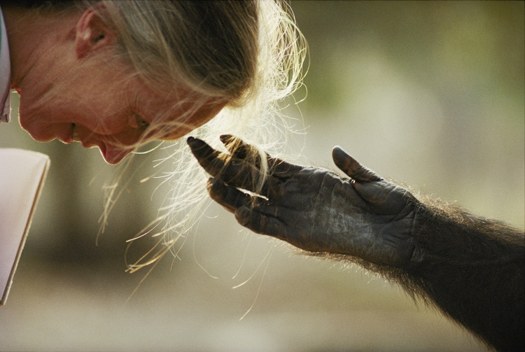 Jane Goodall with chimpanzee Jou Jou, Brazzaville Zoo, Brazzaville, Republic of the Congo, 1990