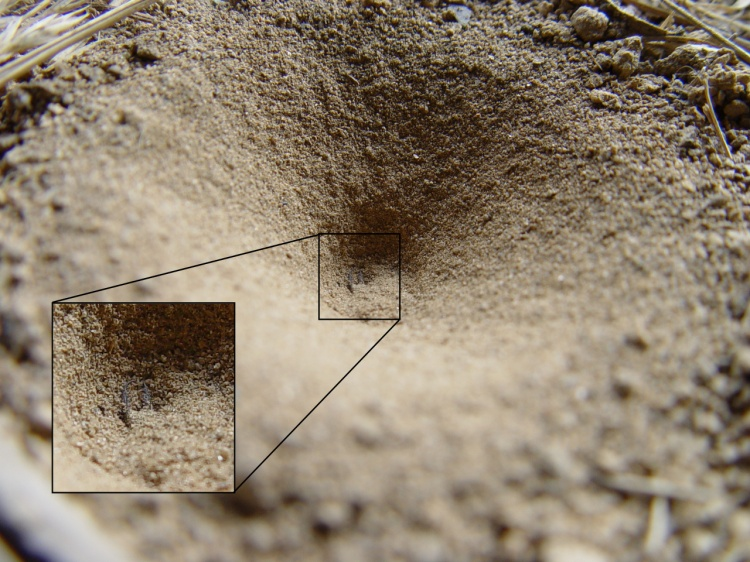 Another crater making life uncertain - an antlion waits for visitors