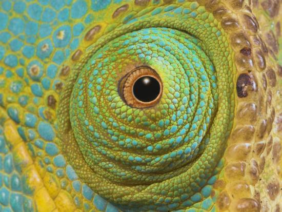 male-parson-s-chameleon-close-up-of-eye-ranomafana-national-park-south-eastern-madagascar_u-l-q10nz0x0